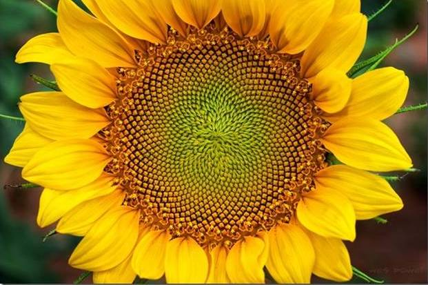 Sunflower - Birthing the Sacred
